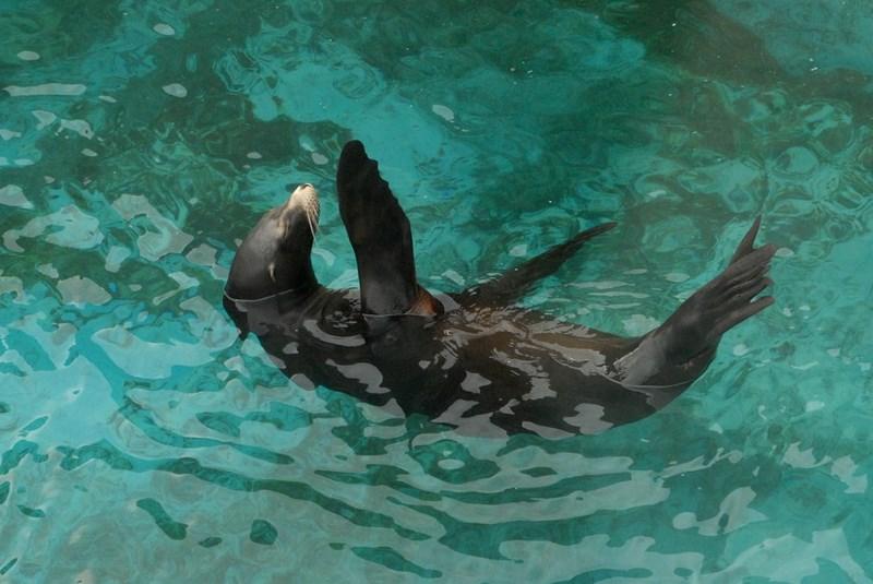 Морской котик плывет