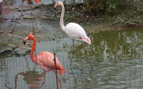 Rozovyj Flamingo