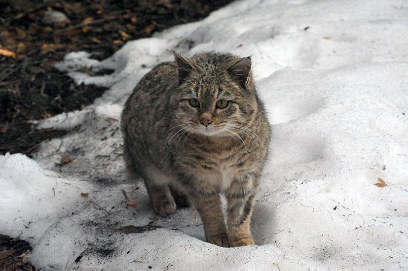 кот степной фото