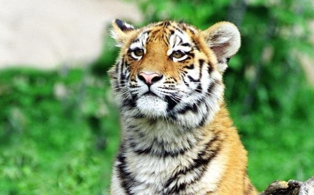 Кратко О Амурском Тигре
